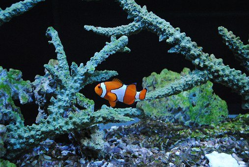 Nemo, Clown, Sea Fish, Orange, Clown Fish