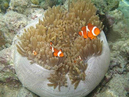 Clown Fish, Fish, Clownfish, Sea, Nemo, Malaysia