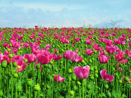 Poppy, Field, Opium Poppy, Field Of Poppies