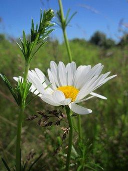 Leucanthemum Vulgare, Ox-eye Daisy, Oxeye Daisy, Bloom