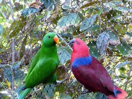 Noble Parrots, Parrots, Couple, Love, Pair, Caress