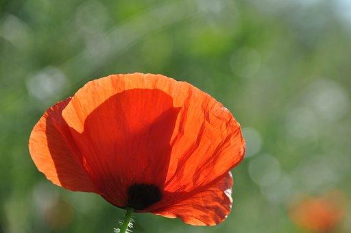 Poppy, Field Of Poppies, France, Nature, Flowers, Field