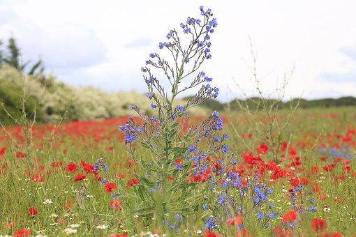 Flower, Poppy, Nature, Field Of Poppies
