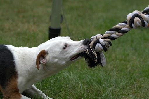 Jack Russell, Dog, Terrier, Play, Bite, Race, Animal