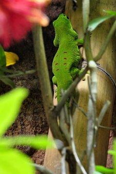 Day Gecko, Malagasy Taggecko, Gecko, Reptile, Green