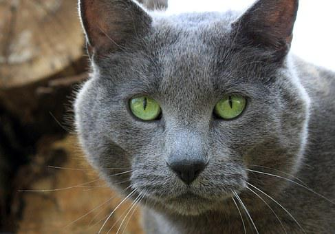 Cat, Gray, Eyes, Green, Pet, Male, Large, Rescue