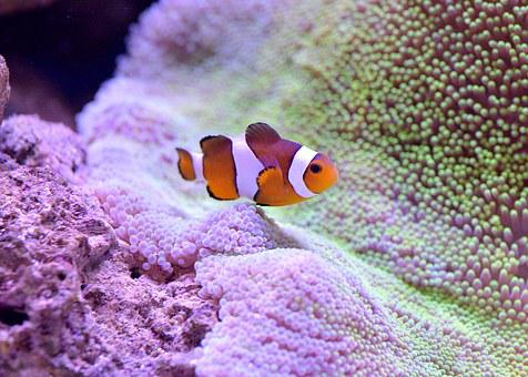 Clownfish, Aquarium, Clown Fish, Nemo, Underwater, Sea