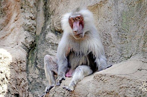 Baboon, Monkey, Old, Sit, Watch, Monkey Males, Male