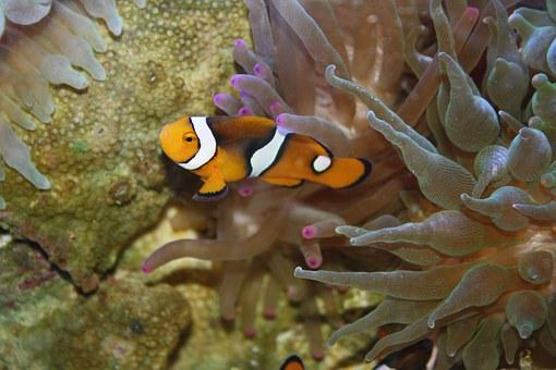 Clown Fish, Nemo, Underwater, Tropical, Fish, Sea