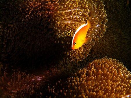 Anemone Fish, Anemone, Fish, Sea, Underwater, Tropical