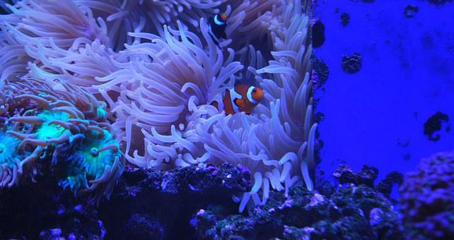 Clown Fish, Aquarium, Coral, Fish, Clown, Underwater