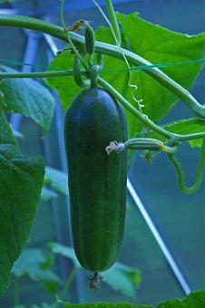 Cucumber, Greenhouse, Food, Gherkins, Vegetables