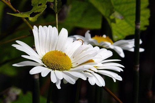 Ox Eyed Daisy, Wildflower, Nature, Flower, White, Wild