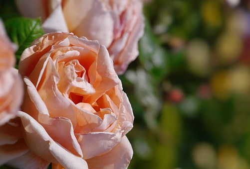 Verny Park, France, Flesh Color, Pink, Rose, Yellow