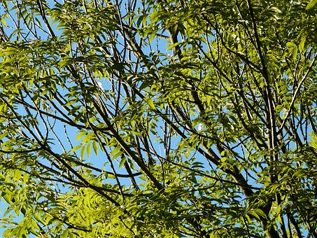 Ash, Tree, Leaves, Branches, Green, Common Ash