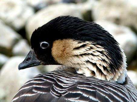 Bird, Hawaiien Goose, Bird Reserve