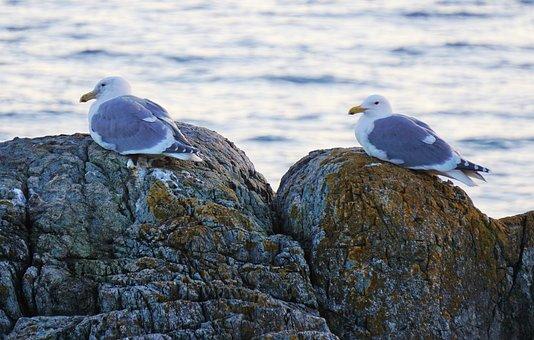 Seagulls, Victoria, Bc, Ocean, Rocks, Nature, Birds