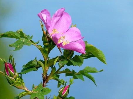 Wild Rose, Wild, Plant, Nature, Close-up, Flower, Macro