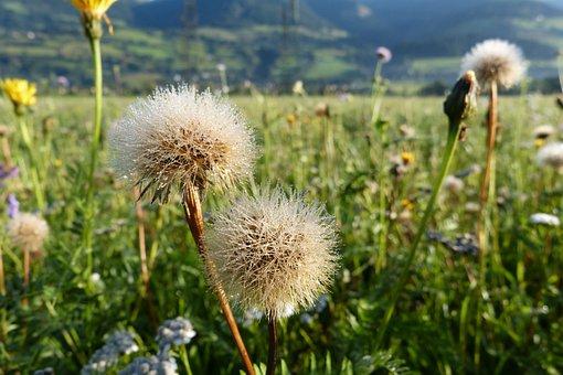 Fall Dandelion, Faded, Dew, Seeds, Meadow, Flowers