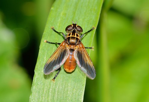 Insects, Diptera, Ectophasia, Fly