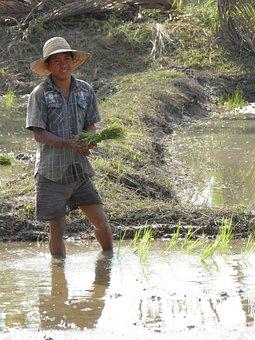 Farmer, Rice, Plantation, Chiang Mai, Thailand