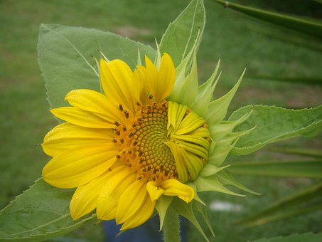 Flowers, Growth, Sunflowers, Petals, Hope, Bud, Sun