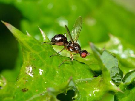 Insects, Diptera, Sepsis