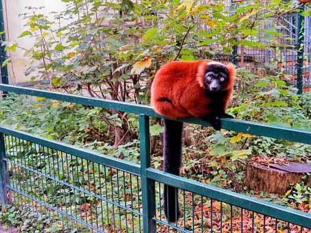 Animals, Primates, Red Vari, Lemur, Zoo