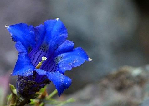 Blue Enzian, Alpine, Flower, Nature, Mountain, Plant