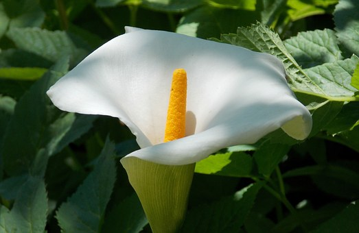 Plank, Flower, Peace Lily, Vaginal Sheet, Blossom
