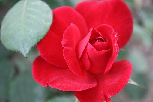 Nanyang Rose Garden, Chinese Rose, Plant