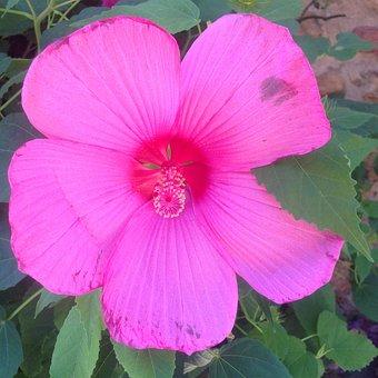 Flower, Pink, Ibiscus, Summer, Macro, Public Garden