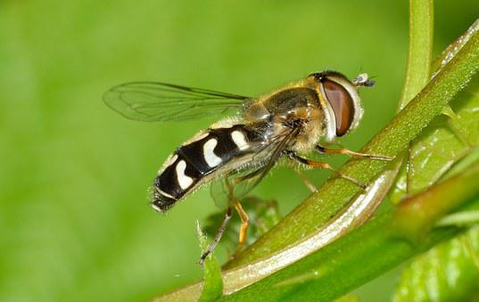 Insects, Diptera, Scaeva, Pyrastri
