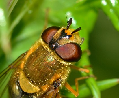 Insects, Diptera, Scaeva