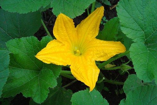 Flower, Yellow, Zucchini, Leaves, Petals, Bloom, Summer