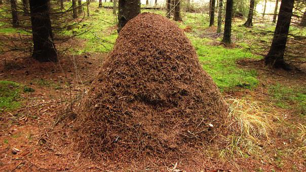 Insects, Forest, The Anthill