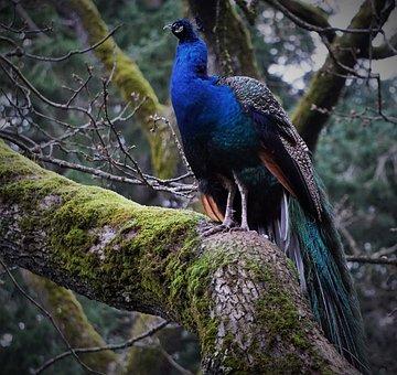 Peacock, Bird, Tree, Nature, Victoria Bc