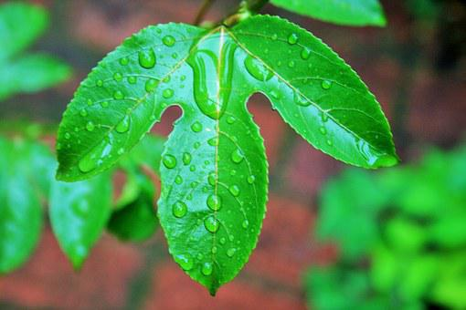 Granadilla Leaf, Leaf, Green Wet, Drops, Water, Rain