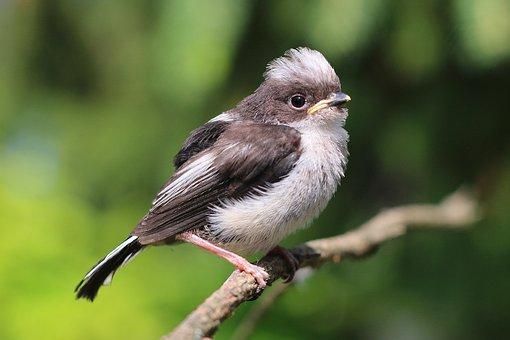 Young, Bird, Aegithalos, The Caudate, Vták