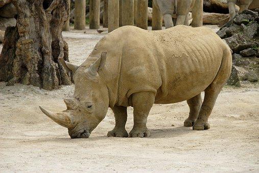 Rhinoceros, Bihorned, Wildlife, Wild, Animal, Africa