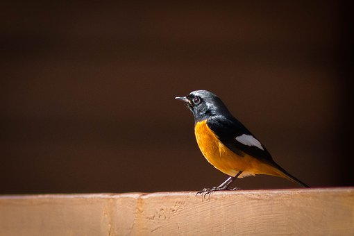 Birds Of The Red Belly, Angkhang, Redstart