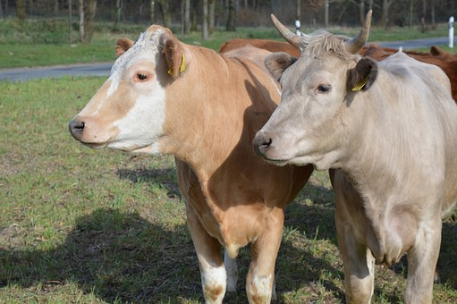 Cow, Beef, Simmental Cattle, Pasture, Coupling