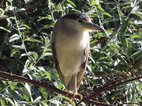 Black-crowned, Night, Heron, Bird, Nature, Wildlife