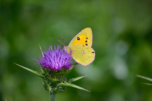 Clouded Yellow Butterfly, Butterfly On Flower