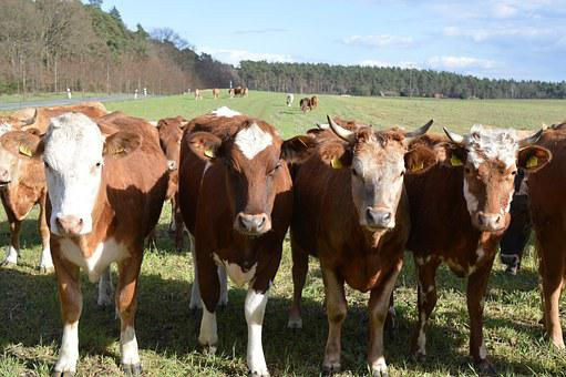 Cows, Cattle, Simmental Cattle, Pasture, Coupling
