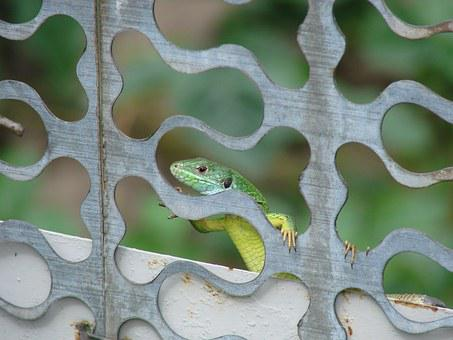 Lizard, Minidrakon, Curious Lizard