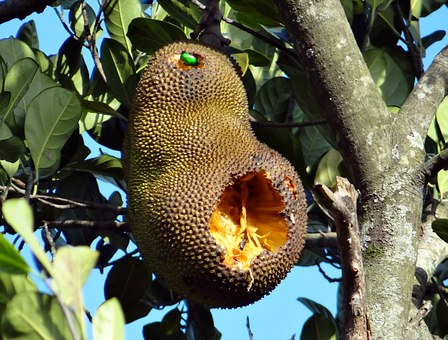 Jackfruit, Overripe, Fruit Beetle, Feeding, Dharwad