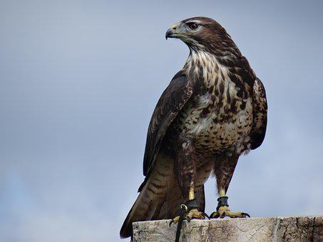Eagle, Bird Of Prey, Bird, Animal, Helmsley