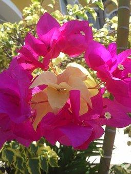 Trinitarian, Fuchsia Flower, Flowers, Garden, Fuchsia