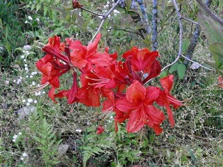 Azalea, Rosebay, In The Early Summer